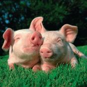 Radio schlagerschweinchen